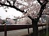Cocolog130406sakura9